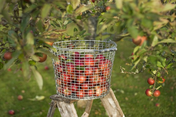 Bucket 24 - Apple tree