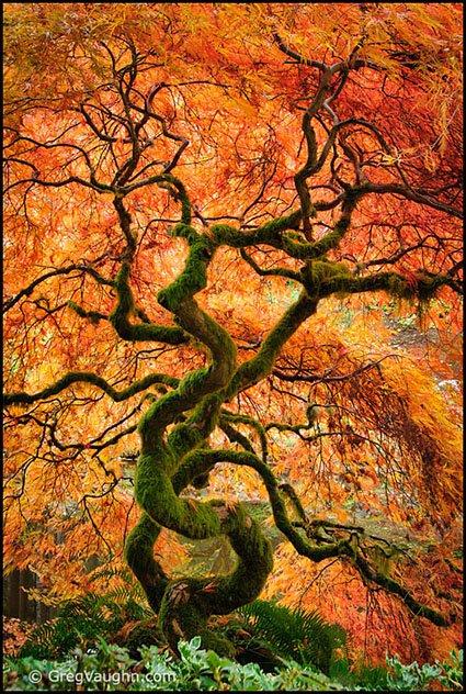 11110331_laceleaf-maple-autumn-bloedel-reserve1