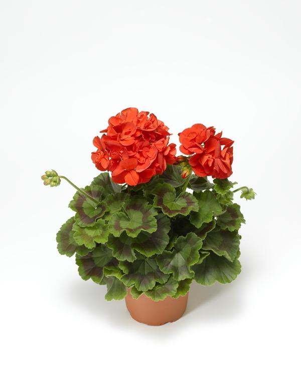 Pelargonium 'Calliope M' Orange 12 cm-7058782375925-a-