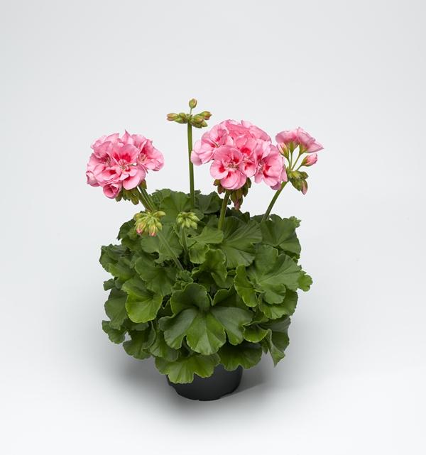 Pelargonium 'Calliope M' Pink 12 cm-7058782375918-a-