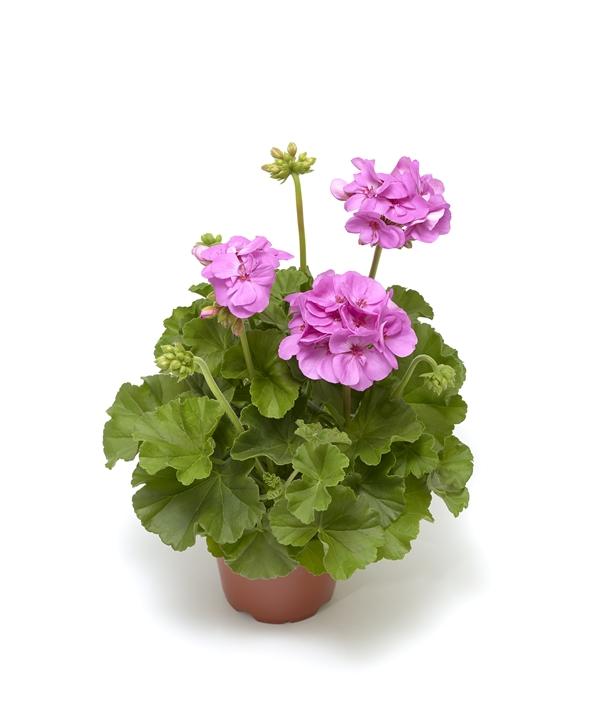 Pelargonium 'Calliope M' Purple 12 cm-7058782375901-a-