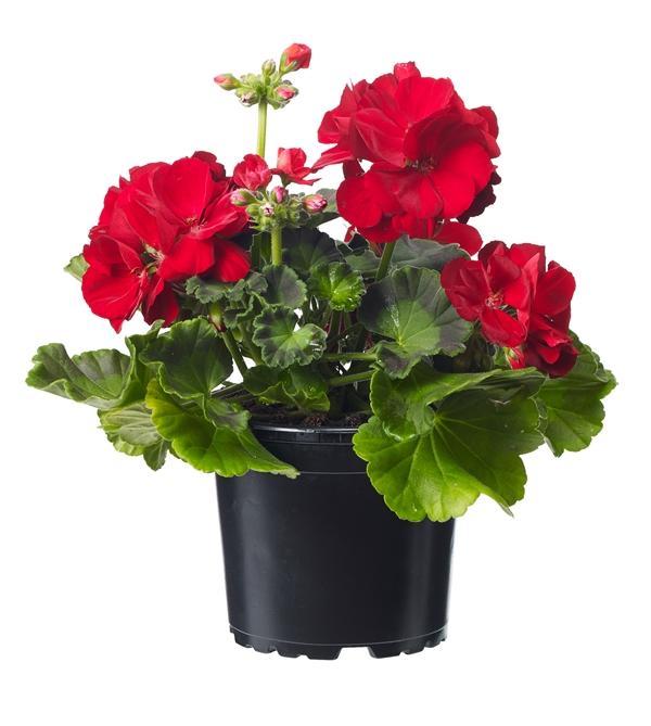 Pelargonium 'Calliope M' Red 12 cm a-7058782375949