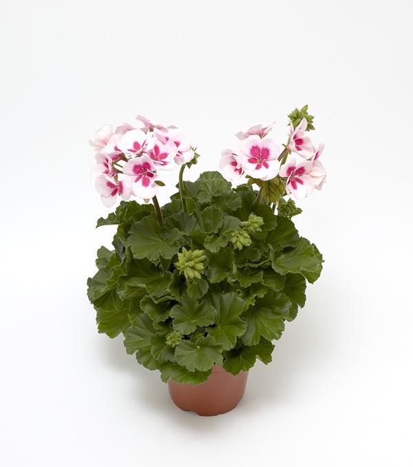 Pelargonium 'Calliope M 'White Splash' 12 cm-7058020026862-a-