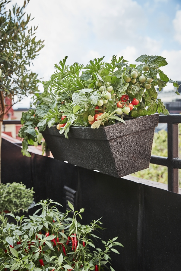 GYO_Milla_balconybox_tomatoes