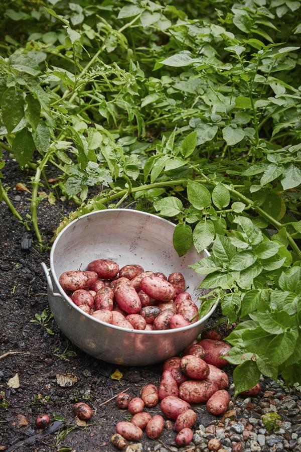 GYO_potatoes