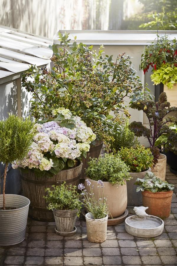 GYO_potgarden_blueberries_herbs_lingonberry_hortensia